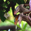 ペナン島ツアー その7 バタフライファーム「entopia」 生命の神秘 擬態昆虫