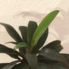 #14 ドラセナマッサンゲアナ 黄緑色の葉