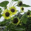 元気のみなもとビタミンカラー、夏の黄色の花