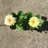 ガーベラ・ロイヤル/庭の花達/コロナウイルスが苦手な季節