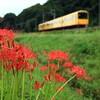 雨上がりの彼岸花と三岐鉄道