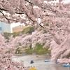 千鳥ヶ淵の桜  サクラサク