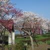 2018.03.28 砂沼~北条大池の桜