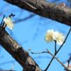 白梅と河津桜と…… 0207