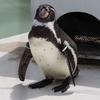 井の頭自然文化園のペンギン