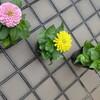 夏の花の苗を植えました