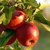りんごの甘さ
