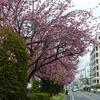 4月5日 八重桜の並木を観に行く