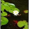 阿弥陀寺の紫陽花:6