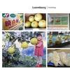 熊本から最大級の柑橘入荷