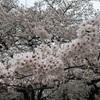 桜を愛でた週末
