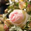 荒尾「おもやい市民花壇」のバラが見頃