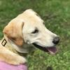 セラピー犬が持つ人を癒す魔法の力とドッグセラピーの医学的効果