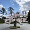 金沢城公園の桜、2020。