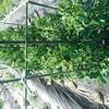 夏野菜 成長
