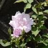 ムラサキの花 シャルルドゴールとマダムビオレ 2015/05/25