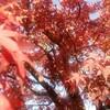 紅に染まる葉