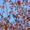 きょうの桜レポート 2017【第4.5回】