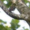 黄鶲(キビタキ)♀ 《亜種:リュウキュウキビタキ》?