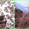 東寺の「河津桜」vs 城南宮の「しだれ梅と椿」