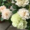 """【庭】Rosa.min """" Green Ice """""""
