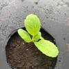 今日は涼しかった 白菜の定植しましたよ