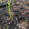 陸稲苗の定植