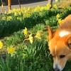 風も穏やか散歩日和。桜はもう少し!