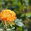 Olympus PEN mini E-PM2でバラを撮影