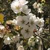4月22日(木)辛うじて勝った巨人、岡本和真の連続ホームラン、桜峠へ