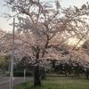 2019花見は、堺の御池公園へ!