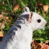 白いリス × 秋のモントリオール