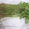 山菜ミズの食べ方と下処理の方法は簡単だから安心して!漬物・水物・炒め物レシピ