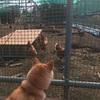 ニワトリと会った週末散歩