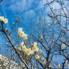 寒いのだけれど梅が咲いていました