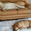 保護子犬ミメ、朝の挨拶とガム完食動画