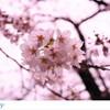 目黒川の桜を一眼レフで撮るとこうなる