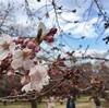 【お花見】3/28 代々木公園 桜の開花状況:お花見プチ情報 (2017/3/28)