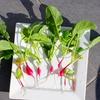 子供と一緒に野菜作り:二十日大根を育ててみたよ♪