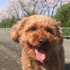介護施設で暮らす保護犬サンタの日常!日本一幸せなトイプードル