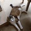 巨漢猫。名付けて曙。