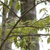 夏鳥パラダイス。青い鳥さんは撮れ・・・