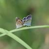 6/26・恩原高原の蝶たち 〜 みどりのゲレンデを舞うたくさんの蝶たちに癒されました