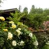 珈琲さとう(胎内市)の見事なバラ庭園へ