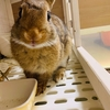 ウサギの盲腸便がスノコに落ちていた!