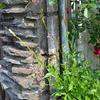 【白蝶草;ガウラ】がやっと咲き出しました🌸