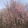 4月17日(水)旅の疲れか、庭の植栽と久し振りに語らっていた。