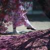 散ってもキレイなオカメ桜