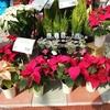 クリスマスの花といえばポインセチアかな(^^♪