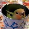 小桜インコの「さくら」〜「安比高原」のバター飴になってみた!〜